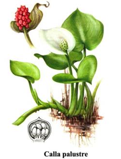 Ambiente sicuro for Calla pianta