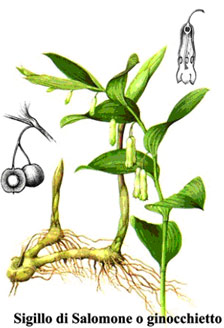 Polygonatum officinalis L. - Sigillo di Salomone o Ginocchietto