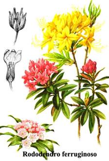 Ambiente sicuro for Rododendro pianta